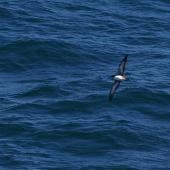 Pink-footed shearwater. Adult in flight. At sea off Valparaiso, Chile, January 2009. Image © Colin Miskelly by Colin Miskelly