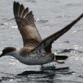 Great shearwater. Adult taking flight. Off Cape of Good Hope, South Africa, October 2015. Image © Geoff de Lisle by Geoff de Lisle