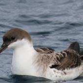 Great shearwater. Adult on water. Off Cape of Good Hope, South Africa, October 2015. Image © Geoff de Lisle by Geoff de Lisle