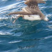 Great shearwater. Behind boat while shark chumming. Stewart Island, April 2011. Image © Fraser Maddigan by Fraser Maddigan