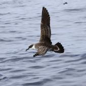 Great shearwater. Adult in flight. Port Fairy pelagic, Victoria, April 2011. Image © Jennifer Spry 2011 birdlifephotography.org.au by Jennifer Spry