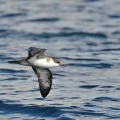 Great shearwater. Adult in flight, ventral view. Off Saint Jean de Luz, France, October 2019. Image © Cyril Vathelet by Cyril Vathelet