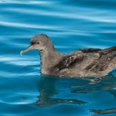Sooty shearwater. Adult on water. Kaikoura pelagic, May 2015. Image © Les Feasey by Les Feasey