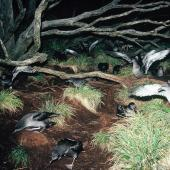 Sooty shearwater. Adults departing breeding colony at dawn. Snares Islands, November 1987. Image © Colin Miskelly by Colin Miskelly