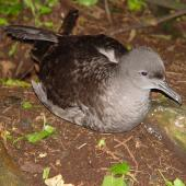 Sooty shearwater. Adult on ground at night with folded wings. Rangatira Island, February 2004. Image © Graeme Taylor by Graeme Taylor