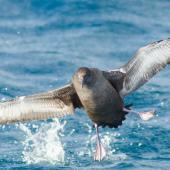 Sooty shearwater. Adult about to land on the sea. At sea off Stewart Island, April 2018. Image © George Hobson by George Hobson www.instagram.com/hobson_george/