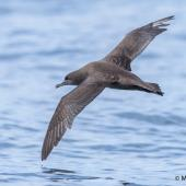 Sooty shearwater. Adult in flight, dorsal view. Off Kaikoura, November 2015. Image © Matthias Dehling by Matthias Dehling