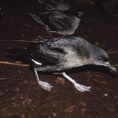 Sooty shearwater. Adults walking from colony to dawn take-off site. North Promontory, Snares Islands, February 1986. Image © Alan Tennyson by Alan Tennyson Alan Tennyson