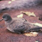 Sooty shearwater. Adult on ground during day. Snares Islands, January 1986. Image © Alan Tennyson by Alan Tennyson Alan Tennyson