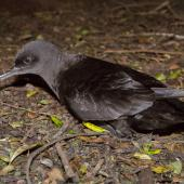 Sooty shearwater. Adult on the ground. Stephens Island, January 2013. Image © Sabine Bernert by Sabine Bernert www.sabinebernert.fr