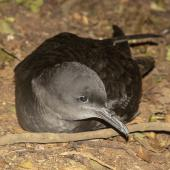 Sooty shearwater. Adult at breeding colony. Rangatira Island, Chatham Islands, October 2020. Image © James Russell by James Russell