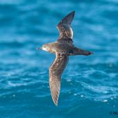 Short-tailed shearwater. Adult in flight, dorsal view. At sea off Dunedin, May 2017. Image © Matthias Dehling by Matthias Dehling