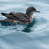 Short-tailed shearwater. Adult swimming. Rangaunu Bay, January 2017. Image © Les Feasey by Les Feasey