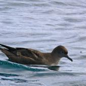 Short-tailed shearwater. Bird on water showing high forehead. Off Kaikoura, March 2010. Image © Peter Frost by Peter Frost