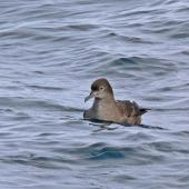 Short-tailed shearwater. Front view showing high forehead. Off Kaikoura, March 2010. Image © Peter Frost by Peter Frost