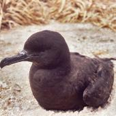 Christmas Island shearwater. Adult. Curtis Island, Kermadec Islands, November 1989. Image © Alan Tennyson by Alan Tennyson