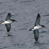 Manx shearwater. Adults in flight. Keflavik, Iceland, August 2011. Image © Ómar Runólfsson by Ómar Runólfsson via Flickr, 2.0 Generic (CC BY 2.0)