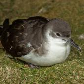 Manx shearwater. Adult resting at night on the ground near nesting burrow. Skomer Island, Wales, April 2012. Image © Neil Fitzgerald by Neil Fitzgerald www.neilfitzgeraldphoto.co.nz