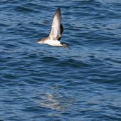 Fluttering shearwater. Adult in flight. Wellington Harbour, September 2019. Image © Paul Le Roy by Paul Le Roy