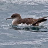 Fluttering shearwater. Adult on water with wings folded. Marlborough Sounds, November 2009. Image © Rebecca Bowater FPSNZ by Rebecca Bowater  FPSNZ Courtesy of Rebecca Bowaterwww.floraandfauna.co.nz