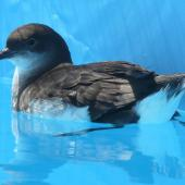 Fluttering shearwater. Adult in rehabilition pool after oil spill. Tauranga, November 2011. Image © Alan Tennyson by Alan Tennyson Alan Tennyson