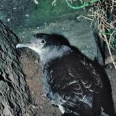 Fluttering shearwater. Adult on ground. Stack north of Stanley Island, July 1987. Image © Alan Tennyson by Alan Tennyson Alan Tennyson