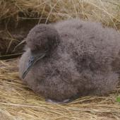 Fluttering shearwater. Chick. Mana Island, December 2010. Image © Colin Miskelly by Colin Miskelly
