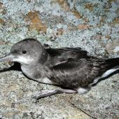 Fluttering shearwater. Adult on ground. Aorangi Island, Poor Knights Islands, December 2011. Image © Alan Tennyson by Alan Tennyson Alan Tennyson