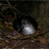 Fluttering shearwater. Adult showing webbing. Taranga / Hen Island, December 2010. Image © Colin Miskelly by Colin Miskelly