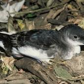 Fluttering shearwater. Adult on ground. Middle Island, Aldermen Islands. Image © Department of Conservation (image ref: 10055590) by Paul Schilov, Department of Conservation Courtesy of Department of Conservation