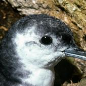 Little shearwater. Close view of adult head. Poor Knights Islands, November 1980. Image © Albert Aanensen by Albert Aanensen