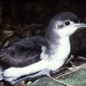 Little shearwater. Adult in profile. Poor Knights Islands, November 1980. Image © Albert Aanensen by Albert Aanensen