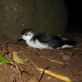 Little shearwater. Adult at breeding colony (nominate subspecies). Phillip Island, Norfolk Island group, April 2017. Image © Dean Portelli by Dean Portelli