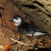 Little shearwater. Adult at burrow entrance (nominate subspecies). Phillip Island, Norfolk Island group, April 2017. Image © Dean Portelli by Dean Portelli