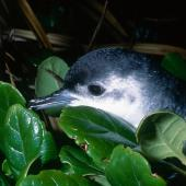 Little shearwater. Adult returning to breeding colony. Mokohinau Islands. Image © Terry Greene by Terry Greene