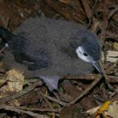 Little shearwater. Chick. Taranga / Hen Island, December 2010. Image © Colin Miskelly by Colin Miskelly