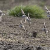 Red-necked stint. Flock in flight showing dorsal surfaces. Awarua Bay, September 2017. Image © Glenda Rees by Glenda Rees https://www.facebook.com/NZBANP/ https://www.flickr.com/photos/nzsamphotofanatic/