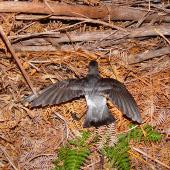 Grey-backed storm petrel. Adult showing upper surface with wings spread. Chatham Island, October 2007. Image © Graeme Taylor by Graeme Taylor