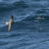 Grey-backed storm petrel. In flight dorsal. Kaikoura pelagic, June 2016. Image © Mike Ashbee by Mike Ashbee Courtesy of Michael Ashbee @ mikeashbeephotography.com