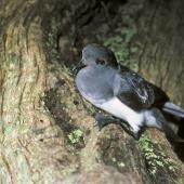 Grey-backed storm petrel. Adult showing webbing. Rangatira Island, Chatham Islands, July 1986. Image © Colin Miskelly by Colin Miskelly