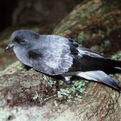 Grey-backed storm petrel. Adult showing back and folded wings. Rangatira Island, Chatham Islands, July 1986. Image © Colin Miskelly by Colin Miskelly
