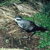White-faced storm petrel. Adult standing showing metal leg band. North East Island, Snares Islands, November 1986. Image © Colin Miskelly by Colin Miskelly