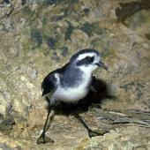 White-faced storm petrel. Close view of adult showing webbing. Aorangi Island, Poor Knights Islands, November 1981. Image © Albert Aanensen by Albert Aanensen
