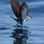 White-faced storm petrel. Adult. Tutukaka Pelagic out past Poor Knights Islands, January 2020. Image © Scott Brooks (ourspot) by Scott Brooks