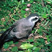 White-faced storm petrel. Adult showing folded wings. Mangere Island, Chatham Islands, November 1987. Image © Alan Tennyson by Alan Tennyson Alan Tennyson