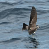 White-faced storm petrel. Adult in flight. Hauraki Gulf, January 2012. Image © Philip Griffin by Philip Griffin
