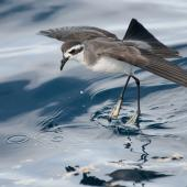 White-faced storm petrel. Adult 'walking' on water while foraging. Hauraki Gulf, January 2012. Image © Philip Griffin by Philip Griffin Philip Griffin © 2012
