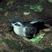 White-faced storm petrel. Close view of adult head. Rangatira Island, Chatham Islands, January 1979. Image © Department of Conservation (image ref: 10033382) by David Garrick, Department of Conservation Courtesy of Department of Conservation