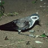 White-faced storm petrel. Adult sitting on legs. Rangatira Island, Chatham Islands, January 1979. Image © Department of Conservation (image ref: 10033383) by David Garrick, Department of Conservation Courtesy of Department of Conservation