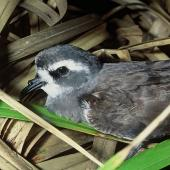 White-faced storm petrel. Close view of adult head. Lizard Island, Mokohinau Islands, November 1993. Image © Department of Conservation (image ref: 10050684) by Terry Greene, Department of Conservation Courtesy of Department of Conservation
